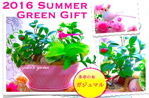 観葉植物 人気*ガジュマル観葉植物おしゃれギフト (受け皿付)
