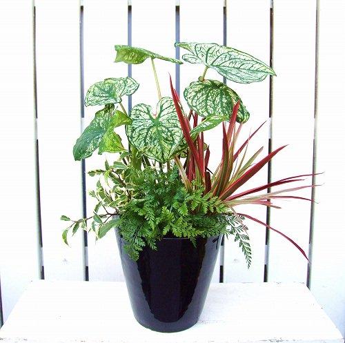 父の日ギフト 観葉植物*観葉植物のインテリア寄せ植え(黒陶器&受け皿付き)(送料無料!!)