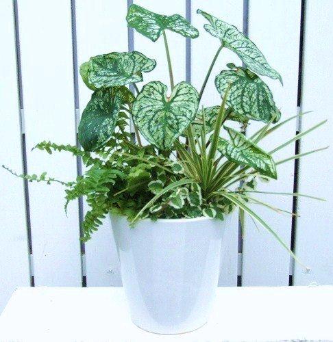父の日ギフト 観葉植物*観葉植物のインテリア寄せ植え(白陶器&受け皿付)(送料無料!!)