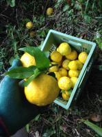 天然柚子 1kg(約10個)令和2年分受付中随時発送