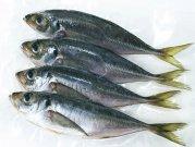 犬猫のカルシウム補給におすすめの魚「小アジ」