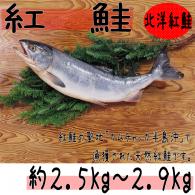 【紅鮭 約2.5〜2.9kg】