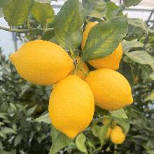 【産直】愛媛県岩城島産 越冬完熟 島レモン【2Kg】 レモンレシピ付き