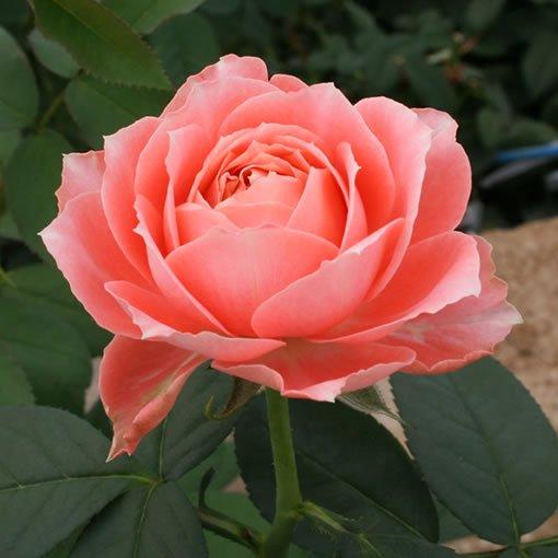 ラ・シャンス|バラ(薔薇)|オ...