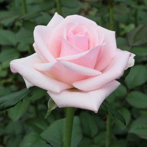 セイレーン|バラ(薔薇)|オキ...