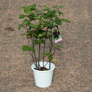ブラックベリー苗4本セット