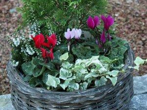 ガーデンシクラメンの花カゴセット(大)