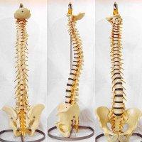 【ソムソ製】可動型・脊椎骨盤・模型・スタンド付(脊髄・脊柱・神経)
