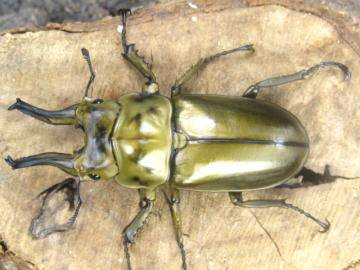 ローゼンベルグオウゴンオニクワガタ販売♂65ミリ~♂68ミリペアー