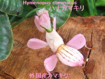 ハナカマキリ販売/幼虫♀2センチ前後 1匹