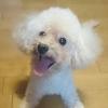 【出張トリミング講習】トイプードル飼い主さま体験ブログ