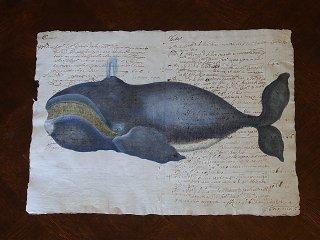 クジラの図版版画