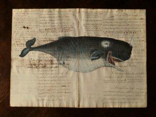 クジラの図版版画・C