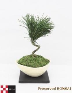 プリザーブドミニ盆栽/黒松
