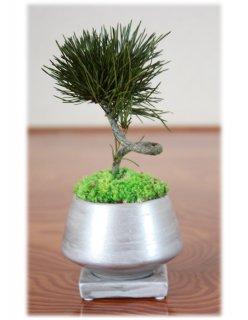 プリザーブドミニ盆栽/黒松/須磨銀