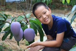 大きなマンゴー 自然栽培 ワケあり レッドキーツマンゴー 1〜4玉 2〜2.5� 送料無料!
