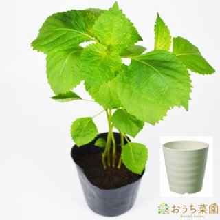 青 シソ 栽培 セット / ハーブ / 軽量 プラスチック 鉢 プランター