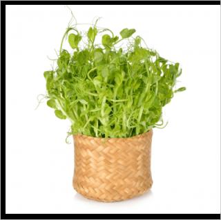 有機 青 えんどう 豆 / 豆苗 / 有機 種子 固定種 / グリーンフィールド / スプラウト [大袋]