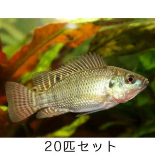 ティラピア / 稚魚 / 純正種 / 20匹 セット