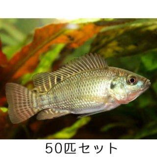 ティラピア / 稚魚 / 純正種 / 50匹 セット
