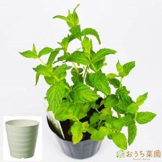 ペパーミント 栽培 セット / ハーブ / 軽量 プラスチック 鉢 プランター