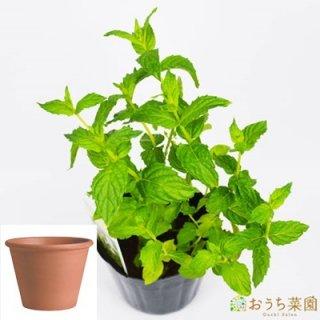 ペパーミント 栽培 セット / ハーブ  / テラコッタ 鉢 プランター / 鉢受皿 付
