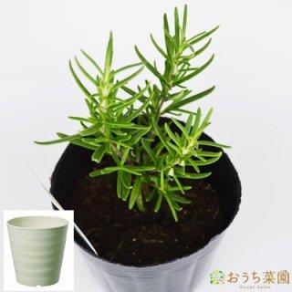 ローズマリー 立性 栽培 セット / ハーブ / 軽量 プラスチック 鉢 プランター