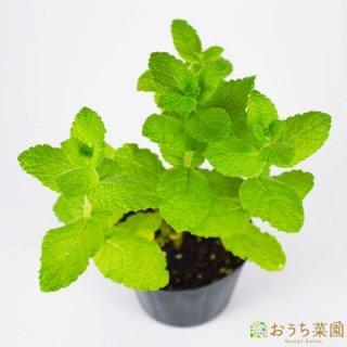 アップルミント / 苗 / ハーブ 野菜 / 9cm ポット