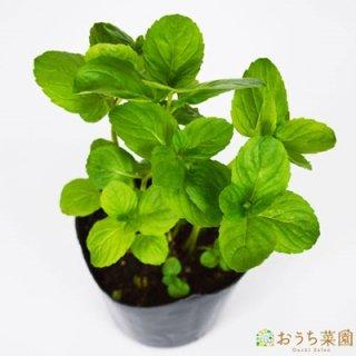 イエルバブエナ / 苗 / ハーブ 野菜 / 9cm ポット