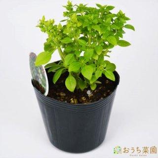 グリーク バジル / 苗 / ハーブ 野菜 / 9cm ポット