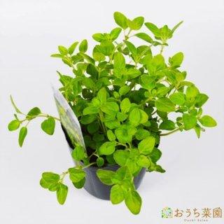 ゴールデンオレガノ / 苗 / ハーブ 野菜 / 9cm ポット