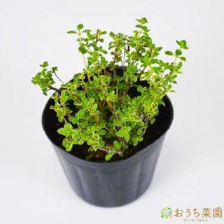ゴールデン レモン タイム / 苗 / ハーブ 野菜 / 9cm ポット
