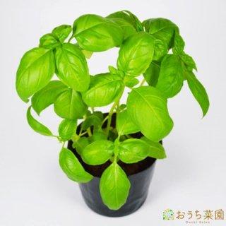 スイートバジル / 苗 / ハーブ 野菜 / 9cm ポット