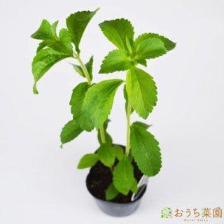 ステビア / 苗 / ハーブ 野菜 / 9cm ポット