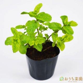 スペアミント / 苗 / ハーブ 野菜 / 9cm ポット