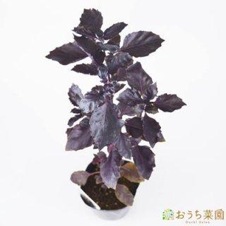 ダークオパール バジル / 苗 / ハーブ 野菜 / 9cm ポット
