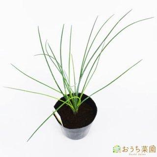 チャイブ / 苗 / ハーブ 野菜 / 9cm ポット