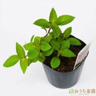 パイナップルセージ / 苗 / ハーブ 野菜 / 9cm ポット