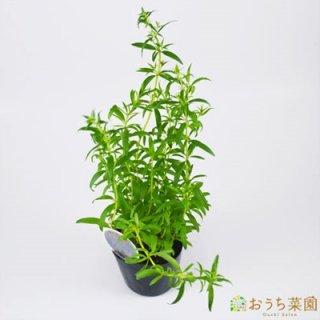 ヒソップ パープル / 苗 / ハーブ 野菜 / 9cm ポット