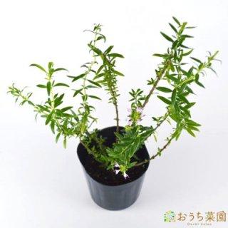 ヒソップ ピンク / 白  / 苗 / ハーブ 野菜 / 9cm ポット