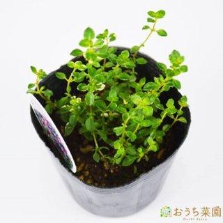 フォクスリータイム / 苗 / ハーブ 野菜 / 9cm ポット