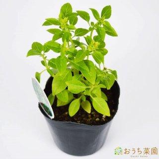 ブッシュ バジル / 苗 / ハーブ 野菜 / 9cm ポット