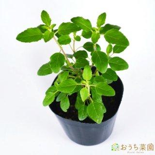 ホーリー バジル / トゥルシー / 苗 / ハーブ 野菜 / 9cm ポット