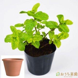 スペアミント 栽培 セット / ハーブ  / テラコッタ 鉢 プランター / 鉢受皿 付