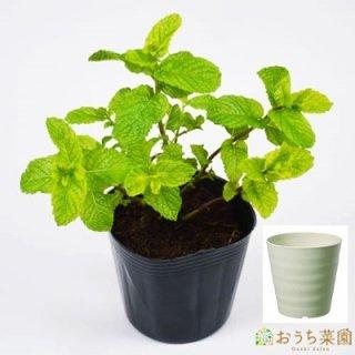 スペア ミント 栽培 セット / ハーブ / 軽量 プラスチック 鉢 プランター