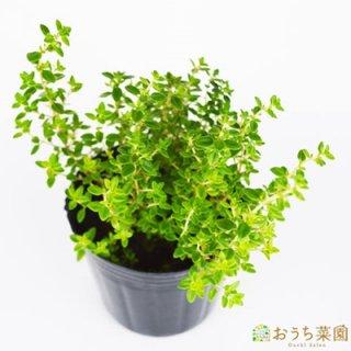 レモンタイム / 苗 / ハーブ 野菜 / 9cm ポット