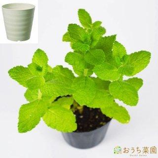 アップルミント 栽培 セット / ハーブ / 軽量 プラスチック 鉢 プランター