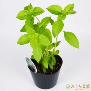 レモンバジル / 苗 / ハーブ 野菜 / 9cm ポット