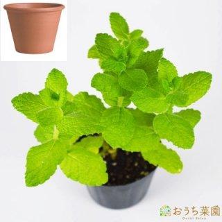 アップルミント 栽培 セット / ハーブ  / テラコッタ 鉢 プランター / 鉢受皿 付