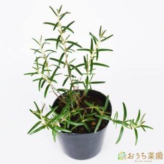 ローズマリー ディープブルー 半ほふく性 / 苗 / ハーブ 野菜 / 9cm ポット